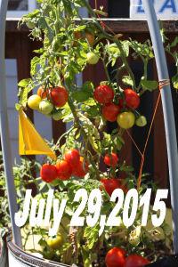 July29tomato1
