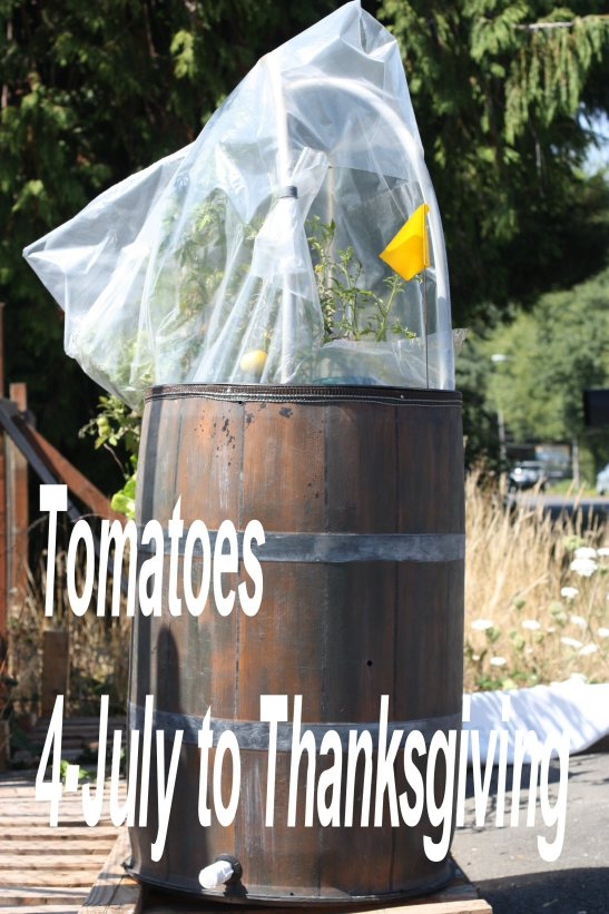 tomatobarrel_july 4