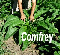 Comfrey_perfect_200