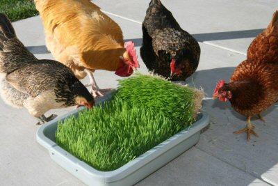 fodder_chickens_400