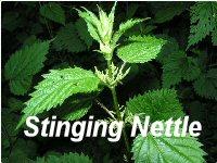 Stinging-Nettle_200