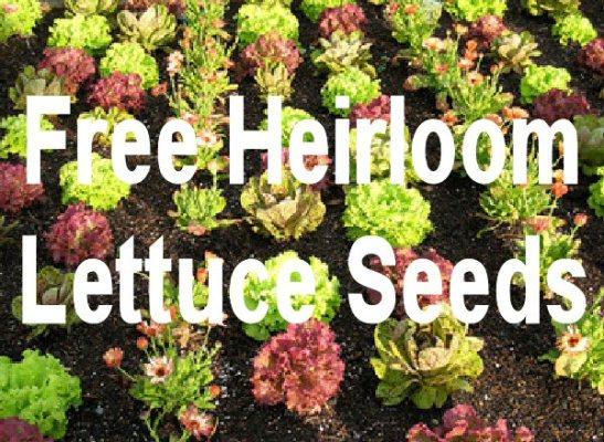 1_lettuce