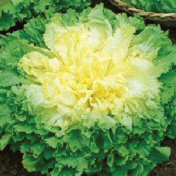 Broadleaf-Batavian-Endive-Seeds