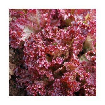 lollo-rossa-darkness-lettuce (1)