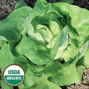mantilia-lettuce-organic