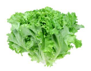 oakleaf-lettuce (1)