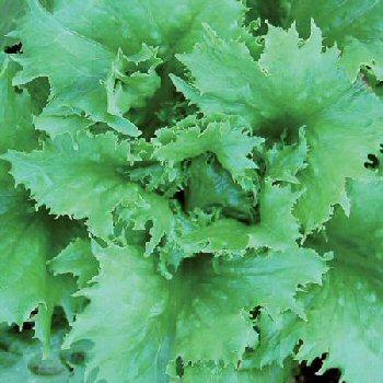 reine-des-glaces-lettuce