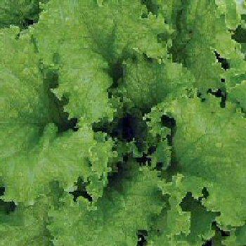 solbolt-lettuce