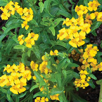 sweet-mace-herb