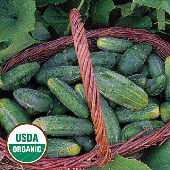 bushy-cucumber-organic