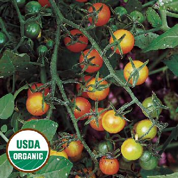 gold-rush-currant-tomato-organic