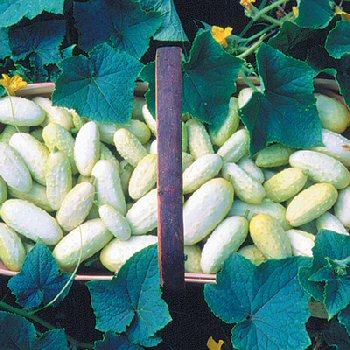 miniature white cucumber
