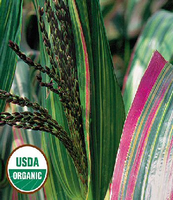 japonica-striped-maize-corn-organic