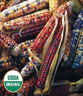 mandan-bride-corn-organic