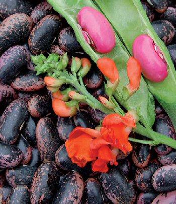 scarlet-runner-runner-bean