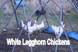 1_whitechickens