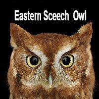 easternscreechowl