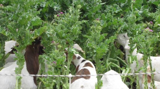 goat_groups_1