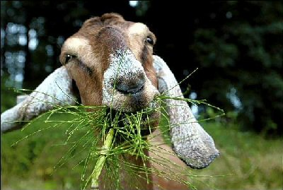 goats__weed