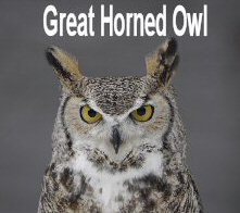 great_horned_owl3