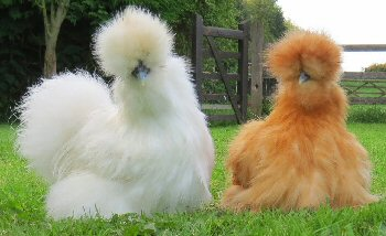keeping-chickens-silkies