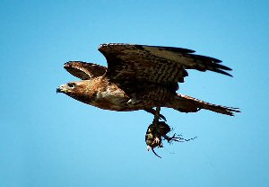 red-tailed-hawk-flying-with-food