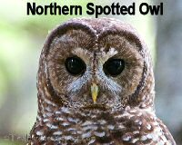 spotted-owl