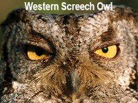 western-screech-owl-montana