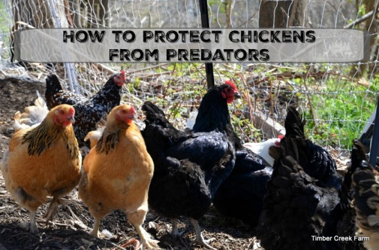 protect-chickens-from-predators
