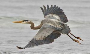 1-blue heron